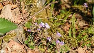 Habitat of the Orpheus flower (Haberlea Rhodopensis)